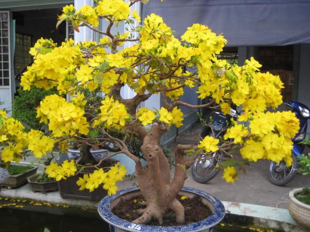 Trồng hoa mai vào dịp cuối năm