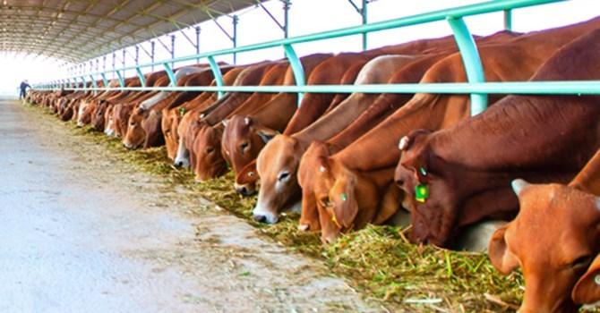 Giải mã giấc mơ thấy gia súc ngụ ý gì