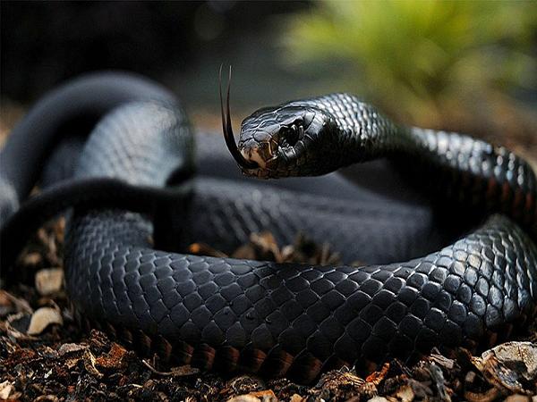 Ngủ mơ thấy rắn đen là điềm gì?