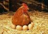 Ngủ mơ thấy gà đẻ trứng là điềm báo gì?