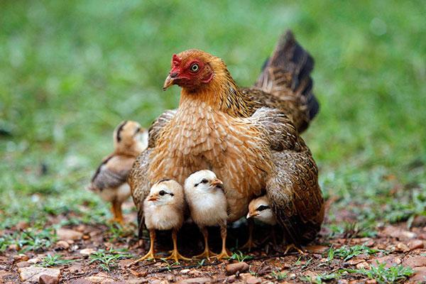 Ngủ mơ thấy gà là điềm báo gì?