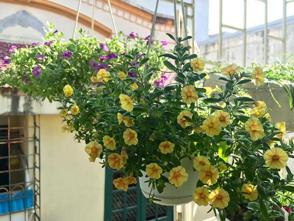Nhà hướng Tây nên trồng hoa triệu chuông