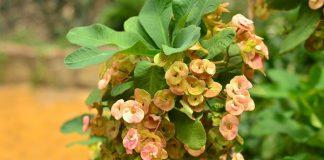 Nhà hướng Tây nên trồng hoa bát tiên