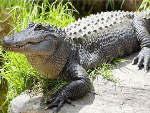 Nằm mơ thấy cá sấu đánh con gì? Điềm báo lành hay dữ